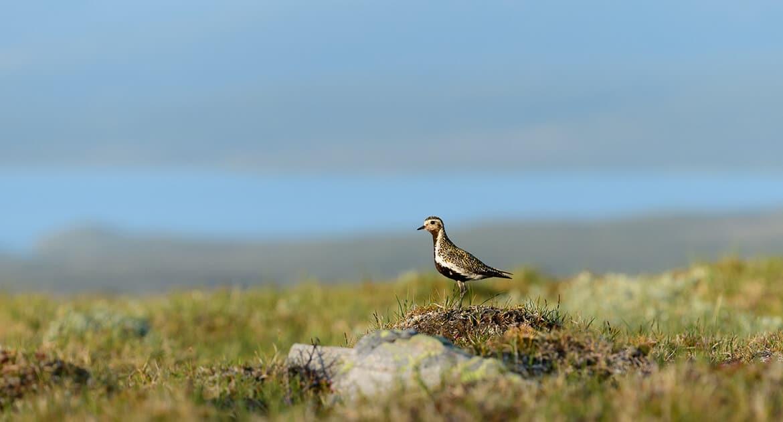 Fågelskådning Jämtland